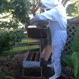 looking for new healthy bees