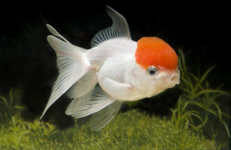 fische rote kiemen
