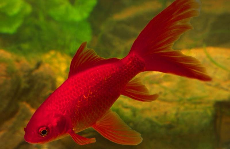 junge goldfische schwarz